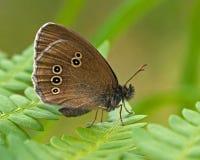 Бабочка Ringlet, hyperantus Aphantopus стоковое изображение