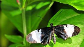 Бабочка Sapho Longwing Стоковое Изображение RF