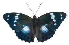 Бабочка (schrencki Apatura) 44 Стоковое Изображение RF