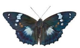 Бабочка (schrencki Apatura) 32 Стоковое Фото