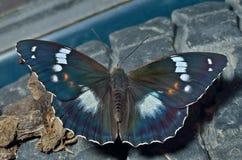 Бабочка (schrencki Apatura) 35 Стоковые Изображения RF