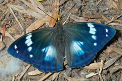 Бабочка (schrencki Apatura) 30 Стоковые Фотографии RF