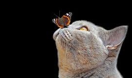 Бабочка shorthair британцев родословной на представлении носа изолированная на черноте стоковое фото