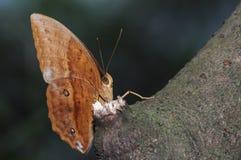 Бабочка (sondaica Discophora) Стоковая Фотография