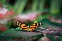 Бабочка striped тигром длиной, который подогнали Стоковые Изображения RF