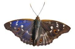 Бабочка (substituta Apatura) 11 Стоковое Фото