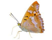 Бабочка (substituta Apatura) 13 Стоковое фото RF
