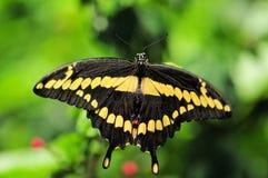 Бабочка Swallowtail гиганта (верхний взгляд со стороны) Стоковое Изображение RF
