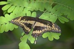 Бабочка Swallowtail гиганта Мексики Стоковые Изображения RF