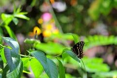 Бабочка Swallowtail гиганта на зеленых лист Стоковое Изображение RF