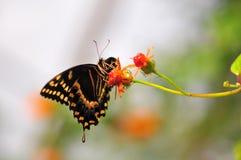 Бабочка Swallowtail гиганта Стоковые Фото