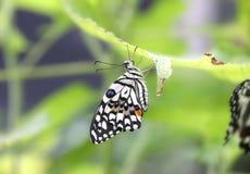 Бабочка swallowtail известки Стоковое Изображение