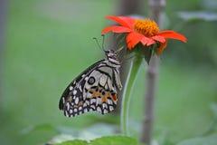Бабочка swallowtail известки Стоковые Фотографии RF