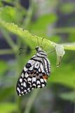 Бабочка swallowtail известки Стоковые Изображения