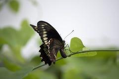 Бабочка Swallowtail кладя яичка на стержень завода Pipevine Стоковые Изображения RF