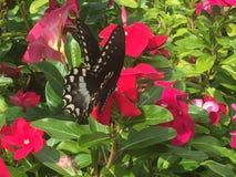 Бабочка Swallowtail на цветках горячего пинка Стоковая Фотография
