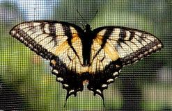 Бабочка Swallowtail тигра пасхи стоковые фото
