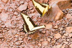 Бабочка Swallowtail тигра Стоковые Фото