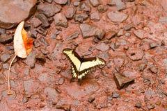 Бабочка Swallowtail тигра Стоковое фото RF