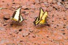 Бабочка Swallowtail тигра Стоковые Изображения RF