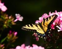 Бабочка Swallowtail тигра Стоковая Фотография RF
