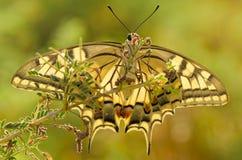 Бабочка Swallowtail Стоковое Изображение