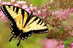 Бабочка Swallowtail Стоковое Фото