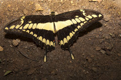 Бабочка thoas Papilio садить на насест над землей Стоковое Изображение