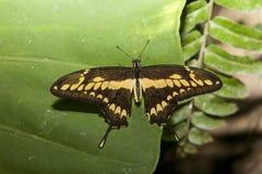 Бабочка thoas Papilio садить на насест над зеленым цветом Стоковые Фотографии RF