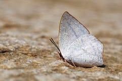 Бабочка (Toothed Sunbeam) Стоковое Изображение RF