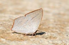 Бабочка (Toothed Sunbeam) Стоковая Фотография