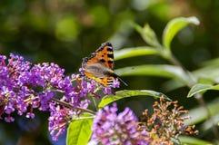 Бабочка Tortoisehell Стоковые Изображения RF