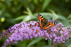 Бабочка Tortoisehell Стоковое Изображение RF