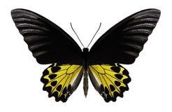 Бабочка Troides helena стоковое фото rf