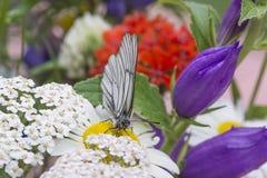 бабочка, tsayeta и лето стоковое изображение rf