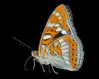 Бабочка (ussuriensis populi Limenitis) 7 Стоковое Фото