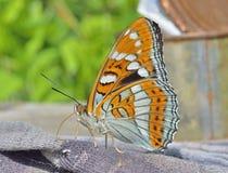 Бабочка (ussuriensis populi Limenitis) 9 Стоковые Фото