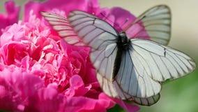 Бабочка veined чернотой белая видеоматериал