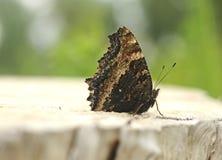 Бабочка xanthomelas многоцветницы Стоковые Изображения RF
