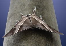 Бабочка zampa Lyssa сидит на черных поляке & x28; Суматра, Indonesia& x29; стоковые фото