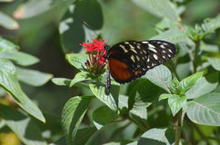 Бабочка Zuleika сидя на красном зацветая цветке Стоковая Фотография