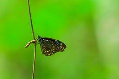 Бабочки висят на ветви Стоковые Фото