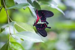 Бабочки в влюбленности Стоковая Фотография