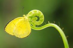 Бабочки в влюбленности Стоковая Фотография RF