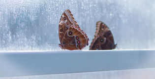 2 бабочки в окне стоковая фотография
