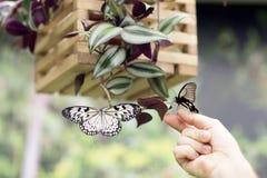 2 бабочки в реальном маштабе времени Стоковая Фотография RF