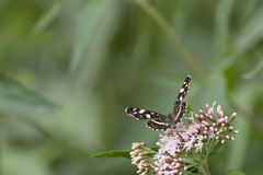 Бабочки в древесинах Стоковые Изображения