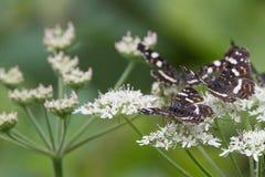 Бабочки в древесинах Стоковая Фотография RF
