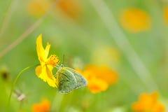 Бабочки в саде, бабочка на оранжевой нерезкости предпосылки цветка Стоковое Изображение