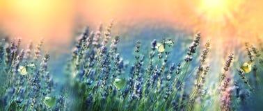 Бабочки в саде цветков лаванды Стоковые Изображения RF